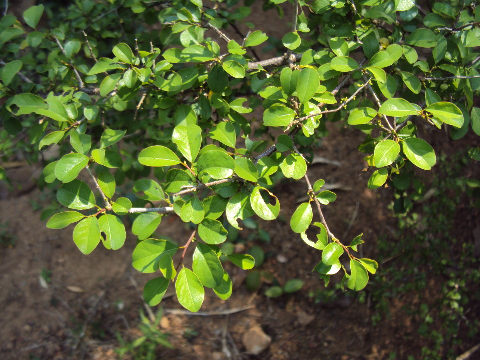Commiphora_wightii_12