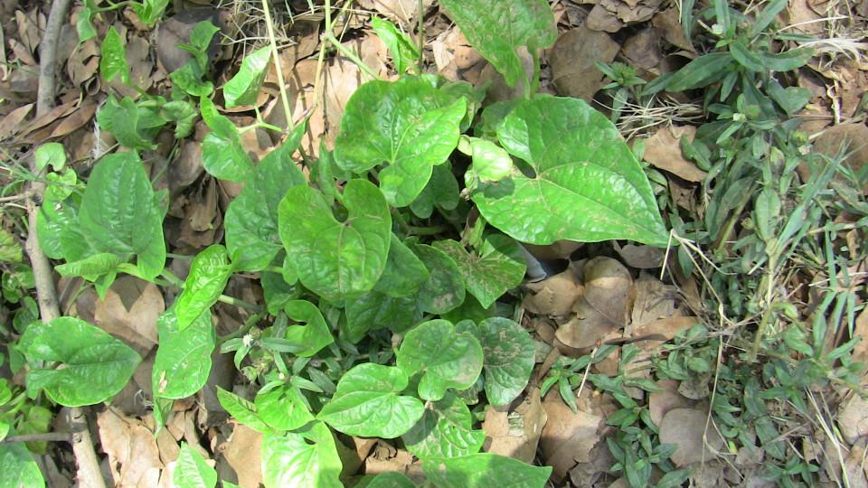 Piper longum (Pippali)